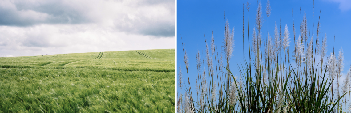 Picture of a agricultural land on the left and a close up of a grass species on the right