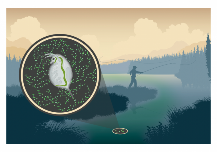 Illustration showing interaction between Daphnia and toxic Microcystis in the environment.